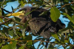 IMG_5438-Green-Heron-chick