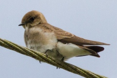Layer-0-Northern-Rough-Winged-Swallow