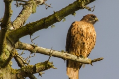 MG_0128-Red-Tailed-Hawk