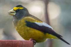 MG_0224-Evening-Grosbeak