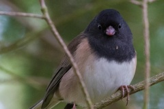 MG_0246-Dark-Eyed-Oregon-Junco