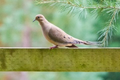 MG_0319-as-Smart-Object-1-Mourning-Dove