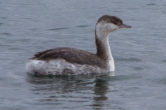 MG_0783-Horned-Grebe