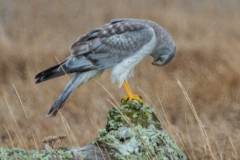 MG_0839-Northern-Harrier-male-Copy