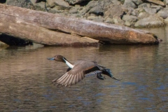 MG_1397-Northern-Pintail-male
