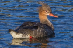 MG_1461-Red-Breasted-Merganser-female