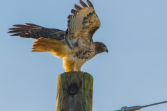 MG_1957-Red-Tailed-Hawk