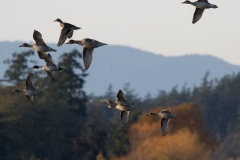 MG_2004-Northern-Pintails