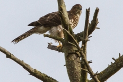 MG_2430-Coopers-Hawk-Copy