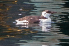 MG_2734-Common-Murre