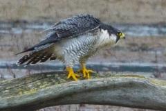 MG_3400-2-Peregrine-Falcon
