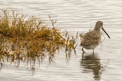 MG_3666-Long-Billed-Dowitcher