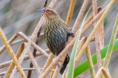 MG_3852-2-Red-Winged-Blackbird-female-Copy