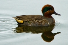 MG_3938-Green-Winged-Teal