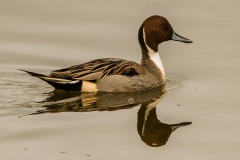 MG_3950-Northern-Pintail