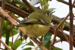 MG_4326-Ruby-Crowned-Kinglet