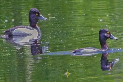 MG_4498-ring-neck-ducks