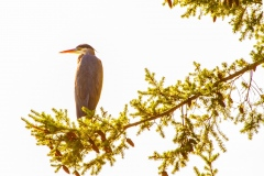 MG_4522-Great-Blue-Heron