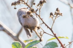 MG_4597-Bush-Tit