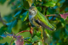 MG_4664-Annas-Hummingbird