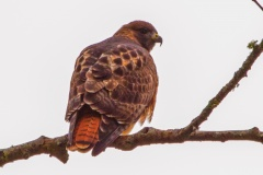 MG_4892-Red-Tailed-Hawk
