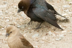 MG_5017-Brown-Headed-Cowbird-pair