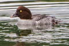 MG_5326-Common-Goldeneye-female