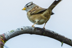 MG_5475-white-crowned-sparrow