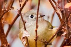 MG_6078-Ruby-Crowned-Kinglet