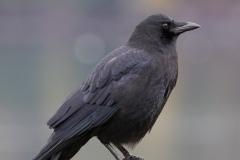MG_6190-American-Crow