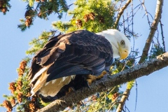 MG_6383-Bald-Eagle