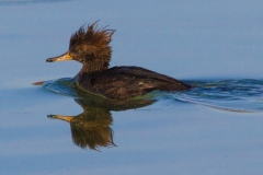 MG_7044-Hooded-Merganser-young-female