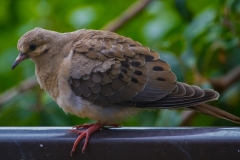 MG_7420-Mourning-Dove