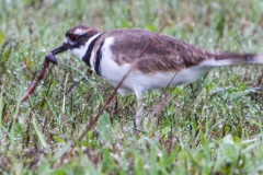 MG_7825-kildeer-with-worm