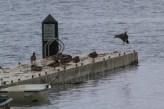 MG_7827-2-mallards-on-dock
