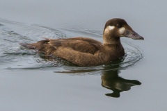 MG_7854-surf-scoter-female