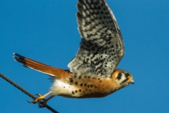 MG_7928-American-Kestral-male