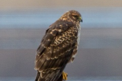MG_8109-Northern-Harrier-female