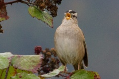 MG_8162-as-Smart-Object-1-White-Crowned-Sparrow