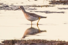 MG_8343-Greater-Yellowlegs