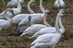 MG_8511-Trumpeter-Swans
