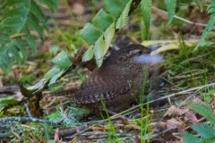 MG_8651-Pacific-Wren