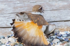 MG_8729-Killdeer-female