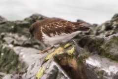 MG_8792-Black-Turnstone-2