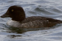 MG_8942-Common-Goldeneye-female