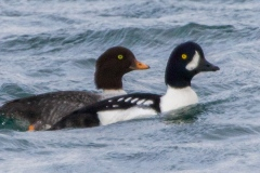 MG_8978-Barrows-Goldeneye