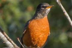 MG_9005-Robin-male