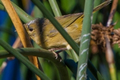 MG_9038-Orange-Crowned-Warbler