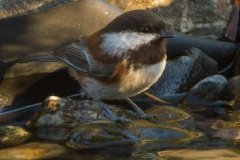 MG_9075-Chestnut-Backed-Chickadee
