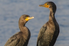MG_9413-Double-Crested-Cormorants-juvenile